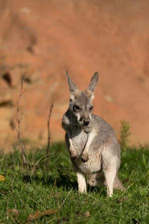 kangaroo mother: cute australian red kangaroo relaxing outdoor agins red rock Stock Photo