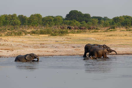 waterhole: manada de elefantes africanos de beber en una charca fangosa, nacional Parque Hwankee, Botswana. La verdadera vida al aire libre
