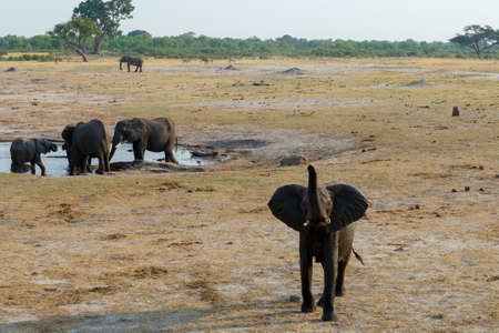 pozo de agua: manada de elefantes africanos de beber en una charca fangosa, nacional Parque Hwankee, Botswana. La verdadera vida al aire libre