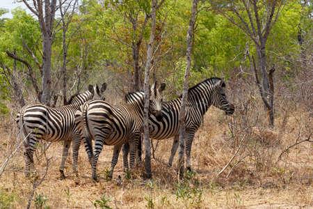 cebra: Potro de la cebra en arbusto �rbol africano. Parque Nacional de Hwange, Zimbabwe. La verdadera vida al aire libre