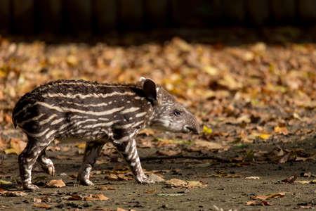 endangered: small stripped baby of the endangered South American tapir (Tapirus terrestris)
