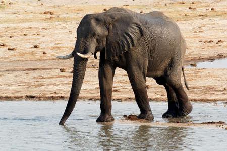 pozo de agua: African elephants drinking at a muddy waterhole, Hwankee national Park, Botswana. True wildlife photography