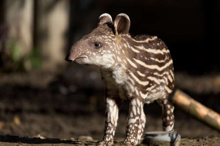 small stripped baby of the endangered South American tapir (Tapirus terrestris)