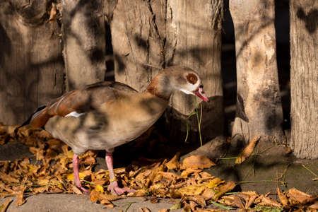 alopochen: Egyptian Goose, Alopochen aegyptiacus, near water, cleaning her body