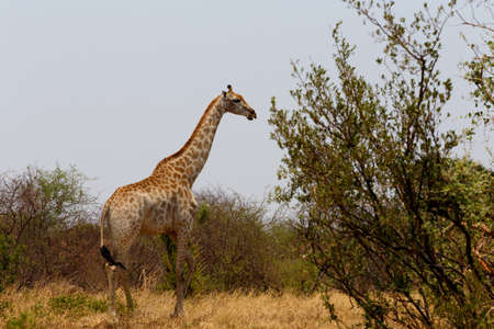 giraffa: majestic Giraffa camelopardalis in national park, Hwankee, Botswana