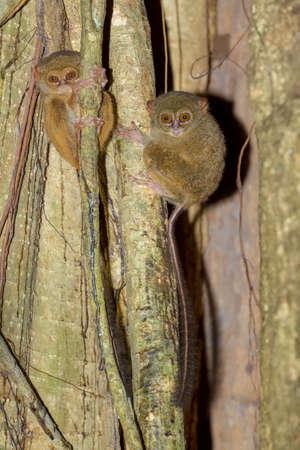 spectral: very rare Spectral Tarsier, Tarsius spectrum,Tangkoko National Park, Sulawesi, Indonesia, the worlds smallest primate, true wildlife Stock Photo