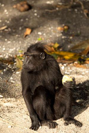 celebes: portrait of  Ape Monkey Celebes Sulawesi crested black macaque, Takngkoko National park, Sulawesi, Indonesia Stock Photo