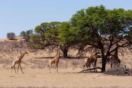 giraffa: Giraffa camelopardalis in african bush, Kgalagadi Transfrontier Park, Botswana, wildlife