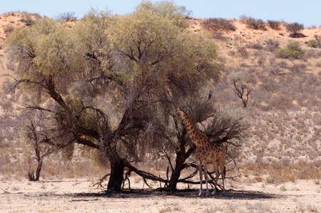 kgalagadi: Giraffa camelopardalis in african bush, Kgalagadi Transfrontier Park, Botswana, wildlife