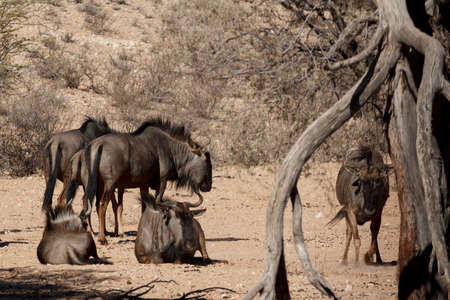 taurinus: wild Wildebeest Gnu grazing, Kgalagadi, South Africa, wildlife