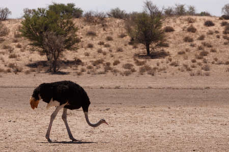 struthio camelus: male of Ostrich, Struthio camelus in Kgalagadi, South Africa, true wildlife photography Stock Photo