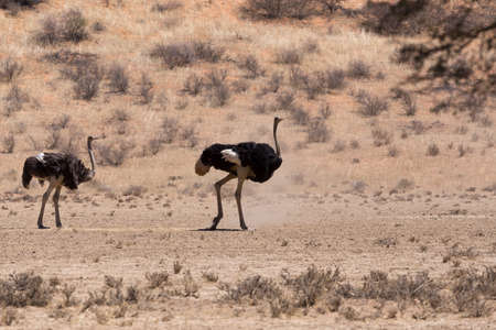 struthio camelus: Ostrich, Struthio camelus in Kgalagadi, South Africa, true wildlife photography Stock Photo