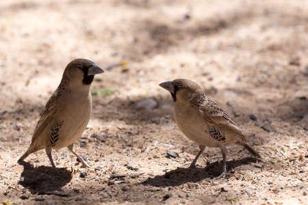 sociable: Sociable Weaver Bird at Kgalagadi transfontier park, South Africa
