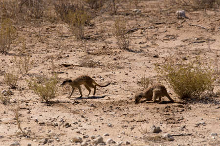 kgalagadi: two meerkat or suricate in Kgalagadi Transfontier park, South Africa