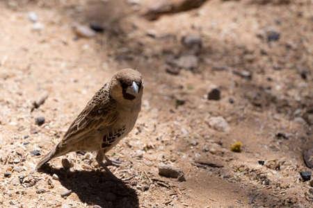 weaver bird: Sociable Weaver Bird at Kgalagadi transfontier park, South Africa