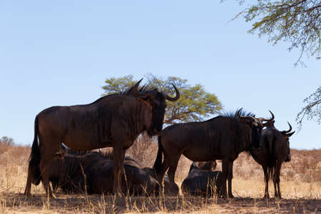 wildebeest: wild Wildebeest Gnu grazing, Kgalagadi, South Africa, wildlife