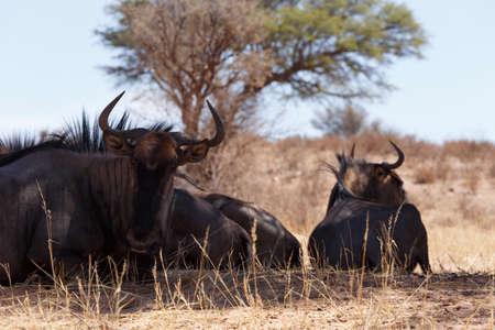 africa  wildlife: wild Wildebeest Gnu grazing, Kgalagadi, South Africa, wildlife