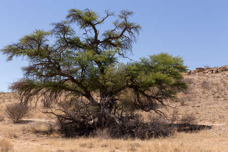 kgalagadi: landscape with tree in Kgalagadi transfontier park, South, Africa