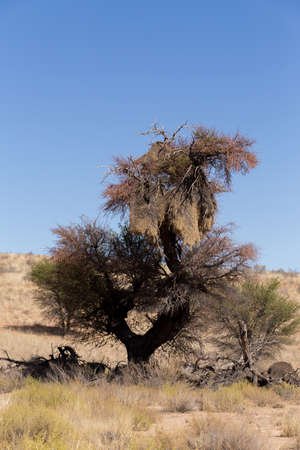 sociable: African sociable weaver big nest on tree, african landscape, Kgalagadi Transfrontier Park, Botswana, true wildlife