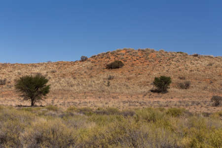 sociable: landscape with tree in Kgalagadi transfontier park, South, Africa