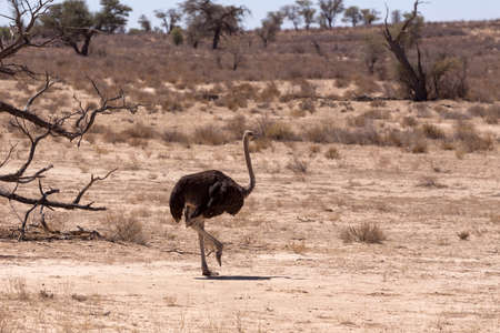 kgalagadi: Ostrich, Struthio camelus in Kgalagadi, South Africa, true wildlife photography Stock Photo