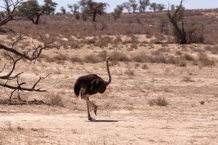 struthio camelus: Ostrich, Struthio camelus in Kgalagadi, South Africa, true wildlife photography Stock Photo