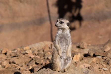 out of danger: female of meerkat or suricate watching out for danger