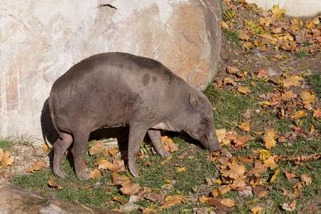 sulawesi: Endemic North Sulawesi mammal babirusa (Babiroussa celebensis) without tusk