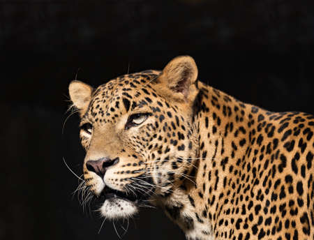 Closeup of Leopard (Panthera pardus kotiya) looks forward with black background,