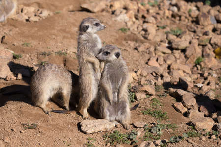 out of danger: family of meerkat or suricate watching out for danger
