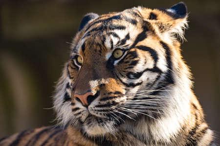 panthera tigris sumatrae: Sumatran tiger (Panthera tigris sumatrae) is a rare tiger subspecies that inhabits the Indonesian island of Sumatra Stock Photo