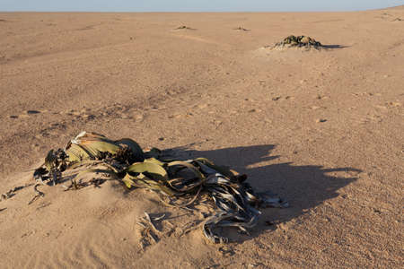estimated: Splendid example of Welwitschia mirabilis is estimated to be more than 1500 years old,Erongo, Namibia, Amazing desert plant, living fossil Welwitschia Mirabilis in Namib Desert Stock Photo