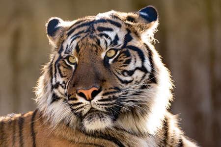 Sumatran tiger (Panthera tigris sumatrae) is a rare tiger subspecies that inhabits the Indonesian island of Sumatra 스톡 콘텐츠