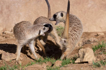 safari animal: family of meerkat or suricate playing outdoor in sunny day