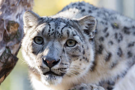 irbis: side portrait of snow leopard, Uncia uncia with shallow focus