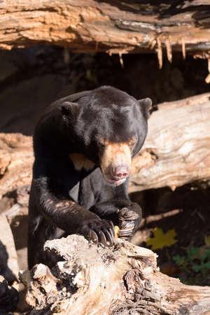 grieved: Sun bear also known as a Malaysian bear (Helarctos malayanus)