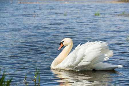 alone bird: Alone swan, Cygnus, single bird on water, Czech Republic Stock Photo