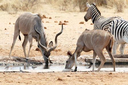 waterhole: Kudu drinking from waterhole, Etosha national Park, Ombika, Kunene, Namibia. True wildlife photography