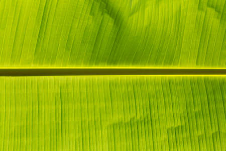 bannana: Green banana leaf background, backlit with sunlight Indonesia, Bali Stock Photo