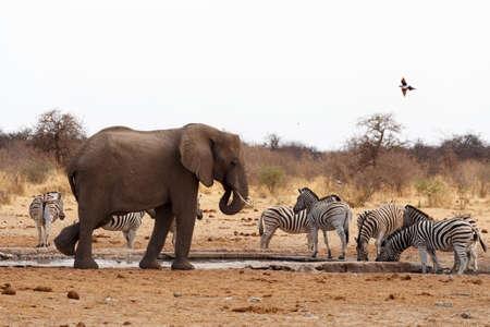 big frican elephants at a waterhole. Etosha national Park, Ombika, Kunene, Namibia. True wildlife photography