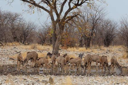 pozo de agua: herd of Kudu on way to waterhole, Etosha national Park, Ombika, Kunene, Namibia. True wildlife photography Foto de archivo