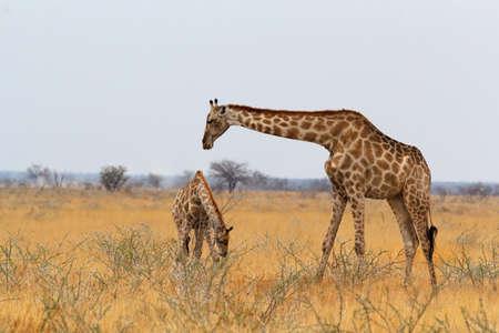 adult female giraffe with calf grazzing on tree in Etosha national Park, Ombika, Kunene, Namibia, true wildlife photography Banco de Imagens