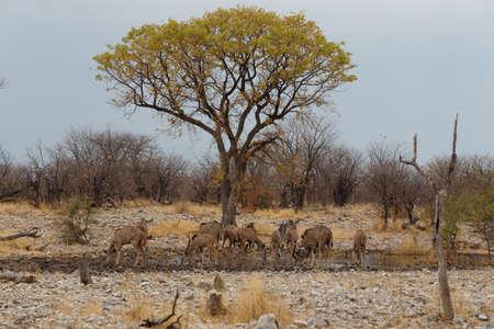 waterhole: herd of Kudu on way to waterhole, Etosha national Park, Ombika, Kunene, Namibia. True wildlife photography Stock Photo