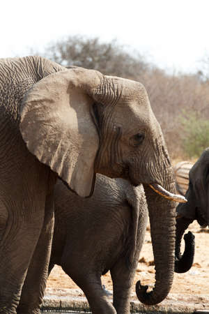 elephant angry: African elephants at a waterhole. Etosha national Park, Ombika, Kunene, Namibia. True wildlife photography