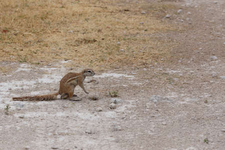 cape ground squirrel: South African ground squirrel Xerus inauris in Etosha, namibia Stock Photo