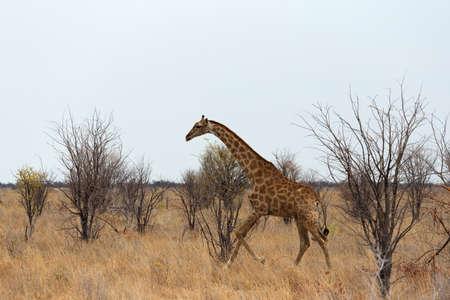 pozo de agua: Giraffa camelopardalis near waterhole in Etosha national Park, Ombika, Kunene, Namibia, true wildlife