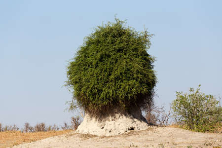 chobe national park: termite mound overgrown with green bush, Chobe national park, Botswana