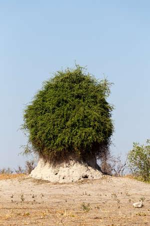 termite mound overgrown with green bush, Chobe national park, Botswana