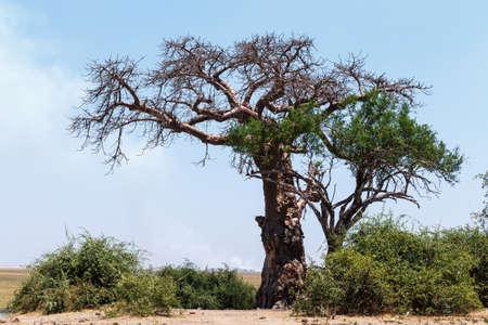 adansonia: majestic old baobab tree (Adansonia digitata)) - Chobe, Botswana