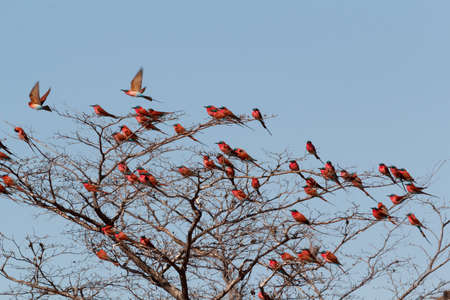 carmine: large nesting colony of Nothern Carmine Bee-eater (Merops nubicoides) on bank of the Zambezi river in Caprivi Namibia, Africa